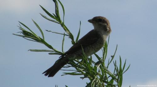 Сорокопут-жулан