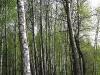 Обои весенний лес