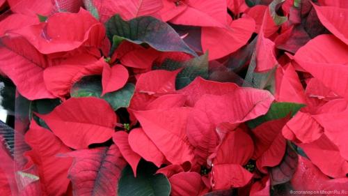 Красные листья обои