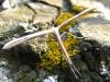 Травяная моль
